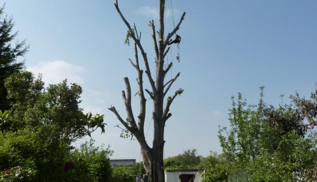 Tree surgeon climing Poplar