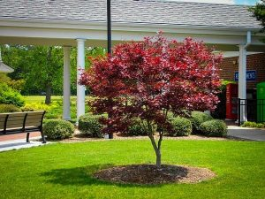 Ornamental tree and lawn