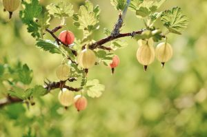 Gooseberries  and fruit trees