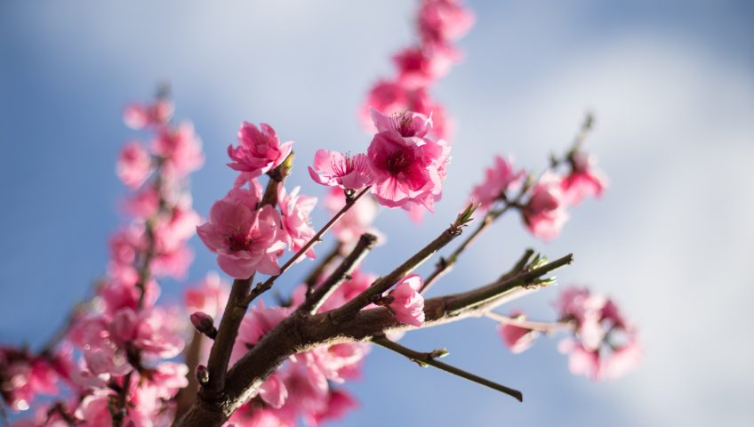 Cherry tree in a garden planted